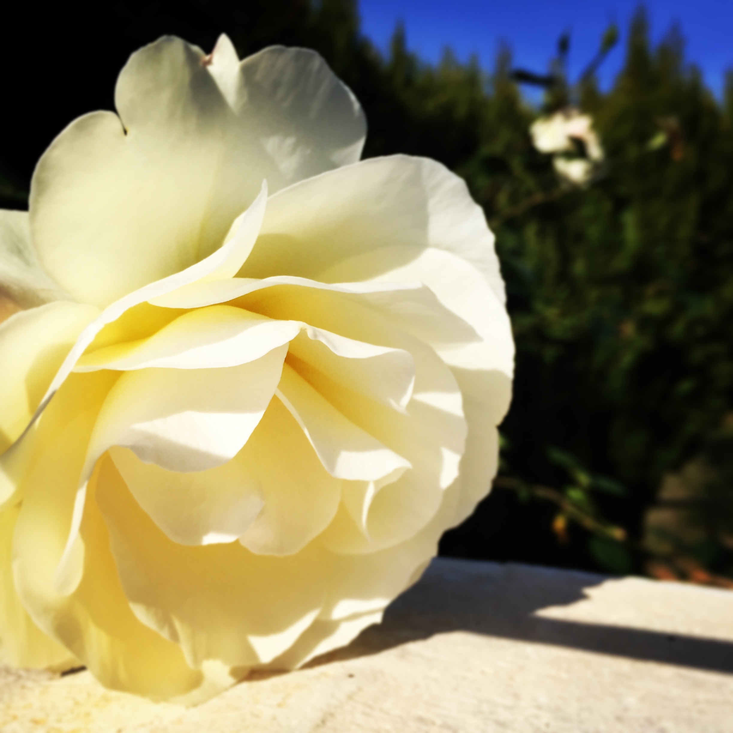 rosa flor blanca mercajardin